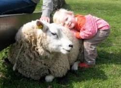 Kinderboerderij Mikerf organiseert  het schaapscheerfeest op zondag 21 mei