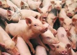 Maatwerkbedrijf AMAB maakt monitoring van hoestende varkentjes mee mogelijk