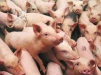 AMAB assembleert de Pig Cough Monitor